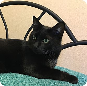 Domestic Shorthair Cat for adoption in Plano, Texas - DAVIDSON - SWEET HOUSE PANTHER
