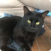 Adopt A Pet :: Bagheera - Charlotte, NC