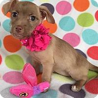 Adopt A Pet :: Stella - North Brunswick, NJ