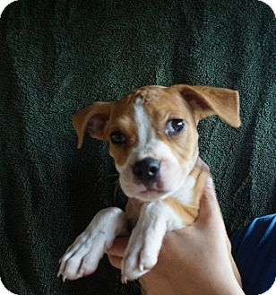 Boston Terrier Mix Puppy for adoption in Oviedo, Florida - Dotty