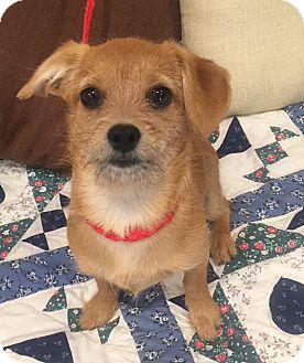 Cairn Terrier/Dachshund Mix Puppy for adoption in Santa Ana, California - Aristotle