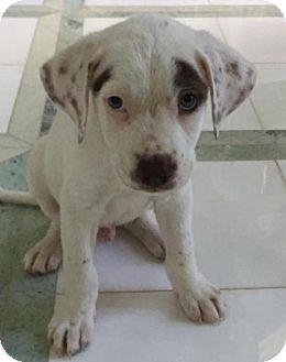 American Bulldog/Labrador Retriever Mix Puppy for adoption in Royal Palm Beach, Florida - Harley