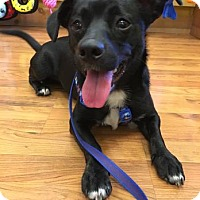 Adopt A Pet :: Bo - Chicago Heights, IL