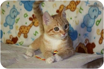 Domestic Shorthair Kitten for adoption in Turlock, California - Benjamin Buttons - ADOPTED
