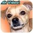 Photo 1 - Chihuahua/Italian Greyhound Mix Dog for adoption in Dallas, Texas - Lenny