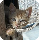Domestic Shorthair Kitten for adoption in Silver City, New Mexico - Fritz