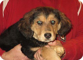 Shepherd (Unknown Type)/Labrador Retriever Mix Puppy for adoption in Greenville, Rhode Island - Ida-HELP