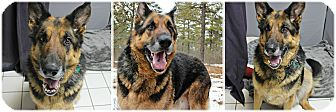 German Shepherd Dog Dog for adoption in Forked River, New Jersey - Jefferson