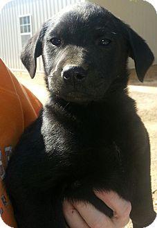 Labrador Retriever Mix Puppy for adoption in Hagerstown, Maryland - Kizzie