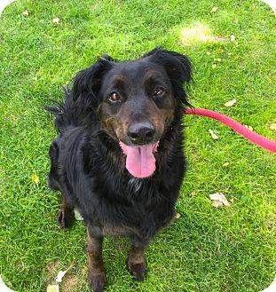 Gordon Setter Mix Dog for adoption in Chino Valley, Arizona - Keeley