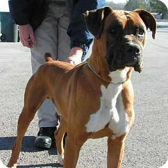 Boxer Dog for adoption in Brentwood, Tennessee - Coda
