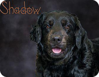 Labrador Retriever Mix Dog for adoption in Somerset, Pennsylvania - Shadow