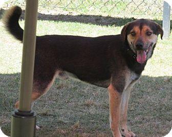 Beagle Mix Dog for adoption in Aiken, South Carolina - BENSON
