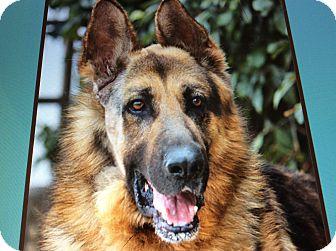 German Shepherd Dog Dog for adoption in Los Angeles, California - SIGMUND VON FREUD