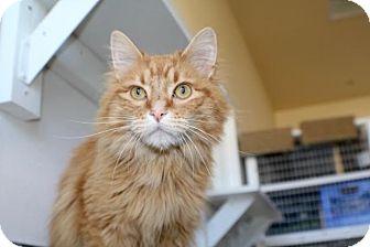 Domestic Longhair Cat for adoption in Gunnison, Colorado - Crush