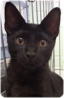 Domestic Shorthair Cat for adoption in Key Largo, Florida - Ebony