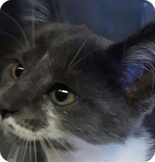 Domestic Shorthair Kitten for adoption in Simcoe, Ontario - Lil'Mia