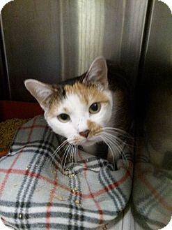 Domestic Shorthair Cat for adoption in Northfield, Ohio - Trixy