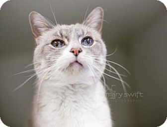 Snowshoe Cat for adoption in Reisterstown, Maryland - Fortune