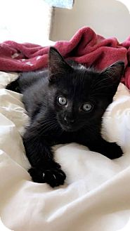 Domestic Shorthair Kitten for adoption in Gainesville, Florida - Toothless