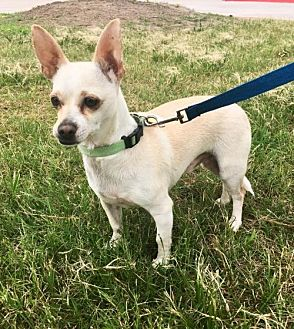 Chihuahua Dog for adoption in Houston, Texas - Frankie