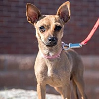 Chihuahua/Dachshund Mix Dog for adoption in C/S & Denver Metro, Colorado - Kimba 1 1/2 Years