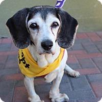 Adopt A Pet :: MAXI - Las Vegas, NV