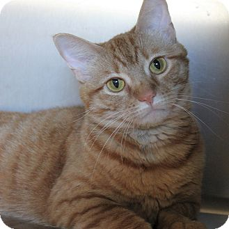 Domestic Shorthair Cat for adoption in Naperville, Illinois - Curly