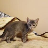 Adopt A Pet :: SPICE GIRL - Mesa, AZ