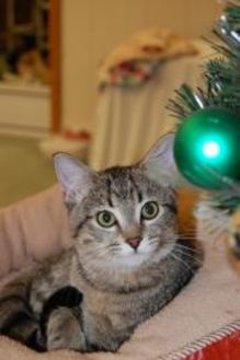 Domestic Shorthair/Domestic Shorthair Mix Cat for adoption in Greenville, Illinois - Tatiana