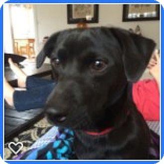 Dachshund/Chihuahua Mix Dog for adoption in Argyle, Texas - DAISY