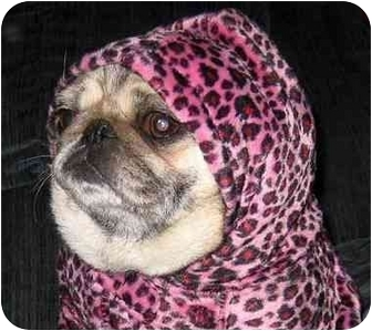 Pug Dog for adoption in Mays Landing, New Jersey - Peony