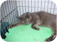 Russian Blue Cat for adoption in McDonough, Georgia - Repo