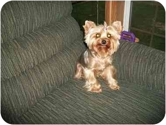 Yorkie, Yorkshire Terrier Dog for adoption in Kokomo, Indiana - Jillian