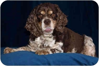 Cocker Spaniel Mix Dog for adoption in Mentor, Ohio - Daisy 4yr Adopted