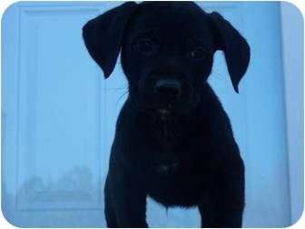 Labrador Retriever/Pit Bull Terrier Mix Puppy for adoption in Broadway, New Jersey - Belgium