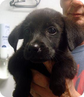 Labrador Retriever Mix Puppy for adoption in Manassas, Virginia - Beauty