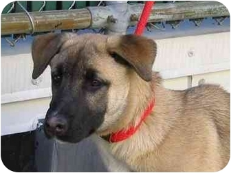 German Shepherd Dog Mix Puppy for adoption in New York, New York - Sheila