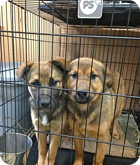 German Shepherd Dog Mix Puppy for adoption in Danbury, Connecticut - Jill ADOPTION PENDING