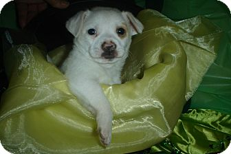 Chihuahua Mix Puppy for adoption in Rochester, Michigan - Hutch