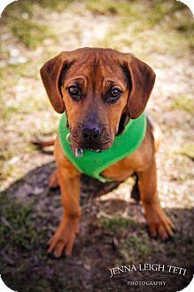 Basset Hound/Beagle Mix Dog for adoption in Jersey City, New Jersey - Jennifer Lawrence