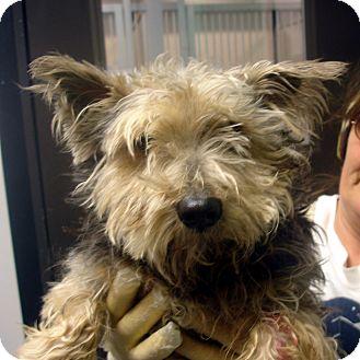 Yorkie, Yorkshire Terrier Mix Dog for adoption in Greencastle, North Carolina - Arlo