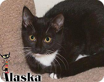Domestic Shorthair Kitten for adoption in River Edge, New Jersey - Alaska