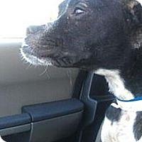 Adopt A Pet :: Beauty - justin, TX