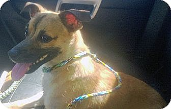 Terrier (Unknown Type, Small) Mix Dog for adoption in Marseilles, Illinois - Tristan