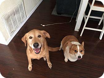 Pembroke Welsh Corgi Dog for adoption in Inola, Oklahoma - Cowboy Jack