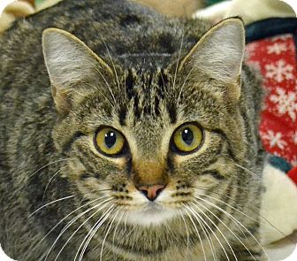 Domestic Shorthair Cat for adoption in Searcy, Arkansas - Little B