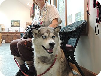 Siberian Husky Dog for adoption in Spring Valley, New York - Maya
