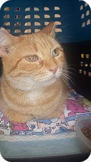 Domestic Shorthair Cat for adoption in Ridgewood, New York - MISSA
