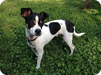 Jack Russell Terrier Dog for adoption in SOUTHINGTON, Connecticut - Prince